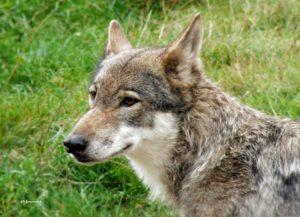 """""""Willkommen Wolf - auf leisen Pfoten zurück"""" von Christian Emmerich @ Mühlentreff"""